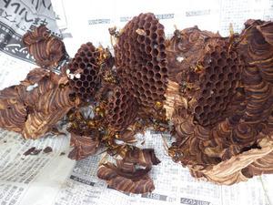 会津坂下町で駆除したスズメバチの巣.jpg