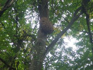 会津若松市で樹木のスズメバチの巣.jpg