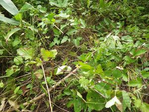 土の中に巣がある土手でキイロスズメバチが警戒態勢(いわき市).jpg