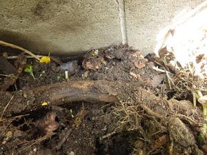 土の中のキイロスズメバチの巣(郡山市).jpg