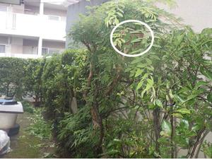 垣根の剪定中にコガタスズメバチに刺された現場(福島市).jpg