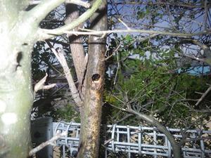 垣根の枯れ木にあったクマバチの巣への出入り口の丸い穴(郡山市).jpg