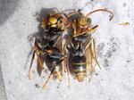 壁に群れたキアシナガバチ集団の雄蜂と新女王蜂(郡山市、2008年9月上旬).jpg