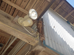 壁の中にある巣が外にはみ出したキイロスズメバチの巣(福島県古殿町).jpg