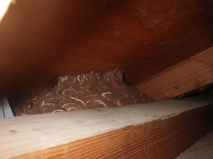 屋根裏で軒裏天井のキイロスズメバチの巣を発見(須賀川市、2013年10月14日).jpg