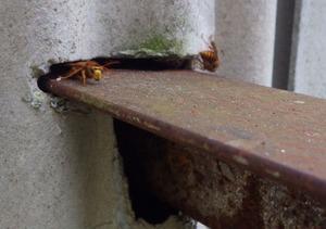 川俣町で壁の隙間からスズメバチが出入りする様子.jpg