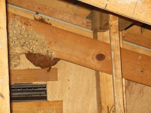巣に群がるキイロスズメバチたち 郡山市、8月上旬