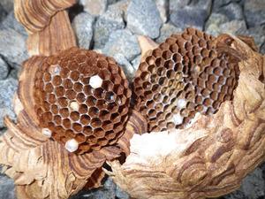 巨大なタンクに作ったキイロスズメバチの駆除した巣(福島県).jpg