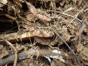 庭にある木の枝を堆積した場所にあったオオスズメバチの巣(郡山市).jpg