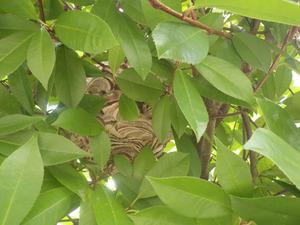 庭の生垣に見つけたスズメバチの巣(福島市).jpg