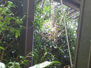 庭木に作ったキイロスズメバチの巣(本宮市).jpg