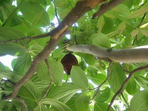 庭木の枝葉に隠れるコガタスズメバチの巣(郡山市、2015年5月13日).jpg