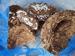 廃校になった小学校の高い所でスズメバチの巨大化した巣を駆除(郡山市).jpg