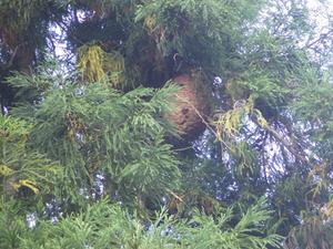 杉の木に作った巨大なキイロスズメバチの巣(福島県).jpg