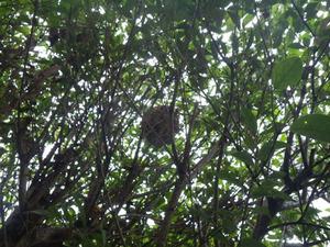 枝葉が複雑に重なり合う生垣にコガタスズメバチの巣(福島市、2013年8月23日).jpg