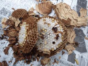 桑折町で駆除したスズメバチの巣.jpg