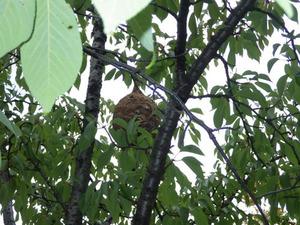 桜の木の高さ5〜6mの所にあるコガタスズメバチの巣(郡山市).jpg