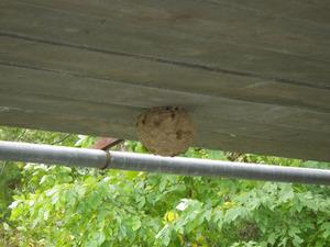橋の下にキイロスズメバチの巣(福島県猪苗代町).jpg
