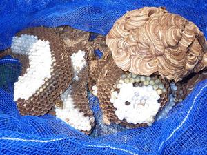 機械施設に作ったスズメバチの巣を駆除(郡山市).jpg