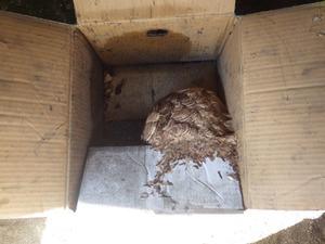 泉崎村でみかん箱のスズメバチの巣を駆除.jpg
