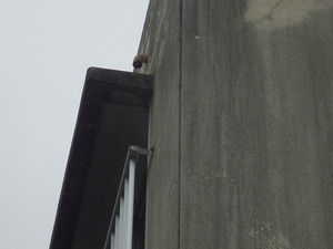 泉崎村でスズメバチが出入り.jpg