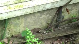 猪苗代町でスズメバチの巣への出入り.png