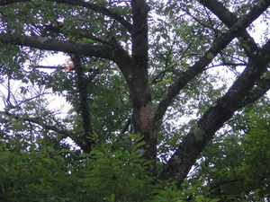 猪苗代町でスズメバチの巣を駆除・撤去.jpg