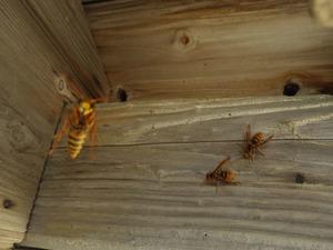 猪苗代町でスズメバチの母巣を駆除.jpg