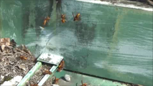 猪苗代町で構造的な隙間からスズメバチが出入り.png