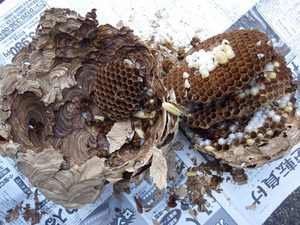 猪苗代町で駆除したスズメバチの巣.jpg