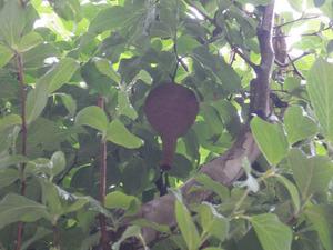 玄関先の庭木に作ったコガタスズメバチの初期巣(白河市).jpg