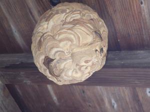 玉川村で軒下のスズメバチの巣.jpg