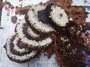 玉川村で駆除したスズメバチの巣.jpg
