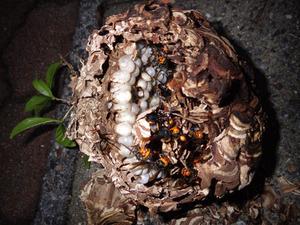 生垣ヒイラギの樹内にあったコガタスズメバチの巣を駆除(郡山市).jpg