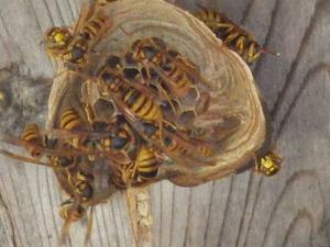 田村市でスズメバチの引っ越し巣.jpg