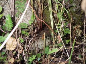 田村市で石垣の隙間のスズメバチの出入り口.jpg