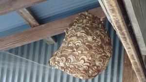 田村市で軒下のスズメバチの巣.jpg