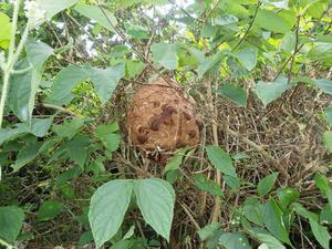 田村市で農道のスズメバチの巣.jpg