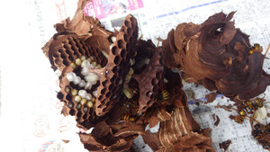 田村市で駆除したスズメバチの引っ越し巣.jpg