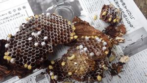 田村市で駆除したスズメバチの母巣.jpg