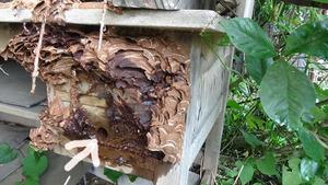 白河市でスズメバチの巣本体への出入り口.jpg