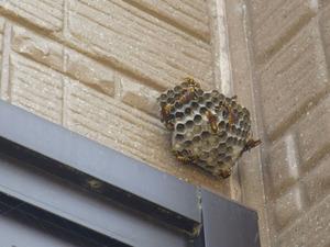 白河市で壁に作ったアシナガバチの巣.jpg