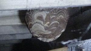 白河市で床下のスズメバチの巣の拡大写真.jpg