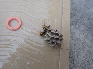 白河市で駆除したアシナガバチの巣.jpg
