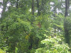 白河市で高所に作ったスズメバチの巣.jpg