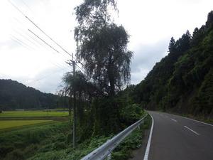 県道沿いにあるシダレヤナギにスズメバチの大きな巣が(福島県天栄村).jpg