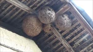 矢吹町でスズメバチの巣からアシナガバチ.png