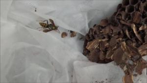 矢吹町でスズメバチの巣から出てきたアシナガバチ.png
