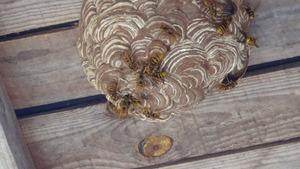 矢吹町でスズメバチの引っ越し巣の駆除.jpg