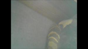 矢吹町で壁の中のスズメバチの巣.png